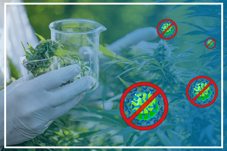 What is Effective for Coronavirus? Can Cannabis And CBD Considered As A Ray Of Hope?